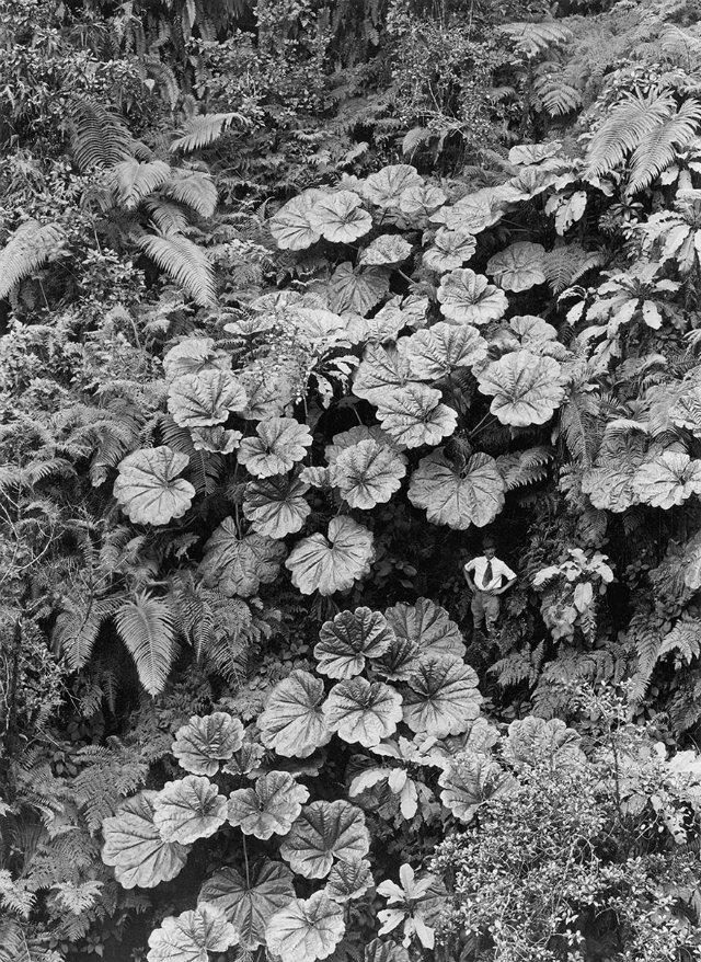 giant ape leaves in hawaii
