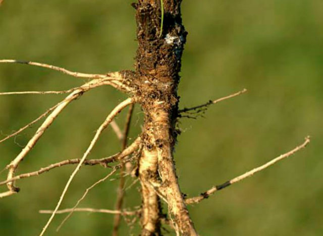Domestication of Fruits and Vegetables, Wild Carrot