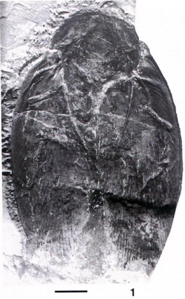 Largest Cockroach Fossil, Details of the specimen