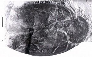 Largest Cockroach Fossil