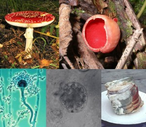 Fungi are more related to Animals than plants