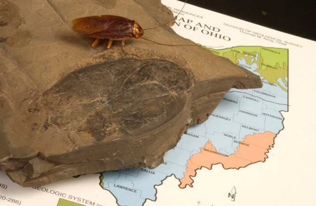 Largest Cockroach Fossil, Comparison with American cockroach