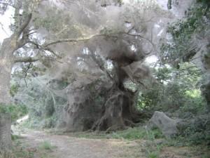 Social spiders can create huge colonies