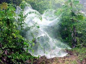 Spider webs of Anelosimus eximius