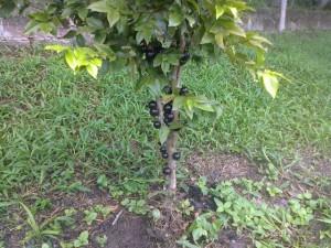Jabuticaba fruit