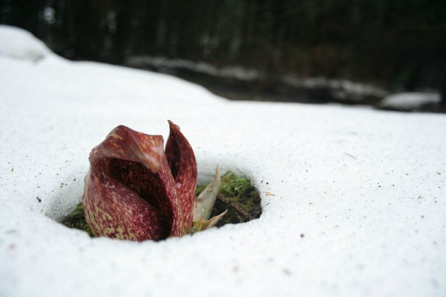 Skunk Cabbage produces its own heat through Thermogenesis