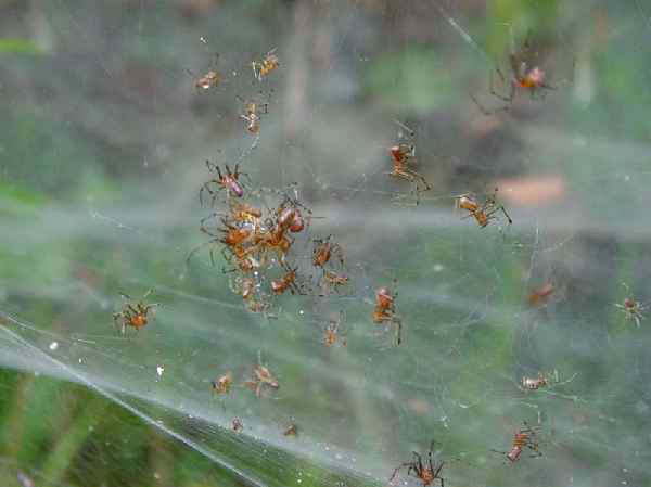 Social spiders living in Brazil