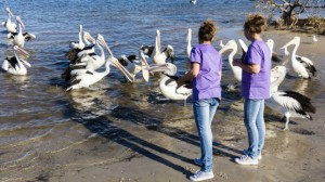 Twinnies pelican and seabird rescue