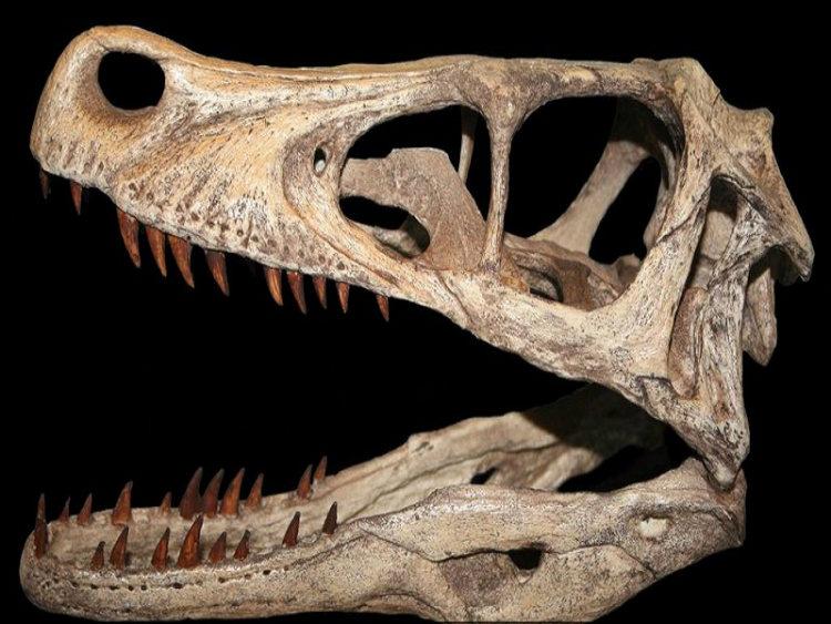 Skull of a velociraptor