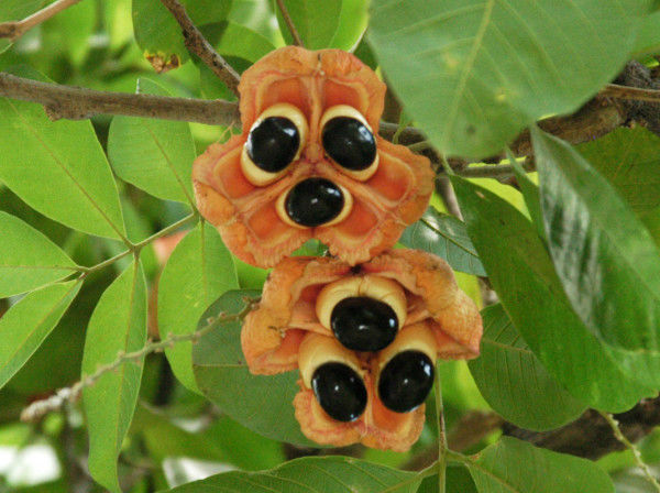 Ackee-Jamaican National Fruit
