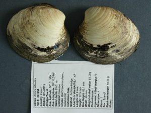 Ming Ocean Mollusc