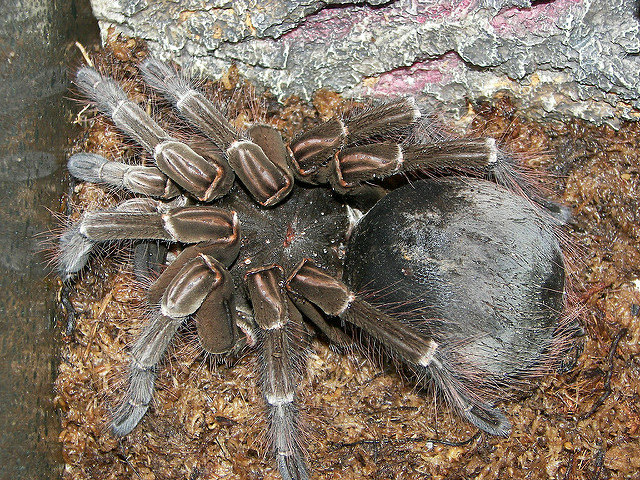 The world's biggest spider weighs as much as a newborn puppy!