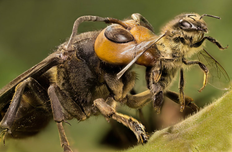 Japanese Giant Hornet killing bee