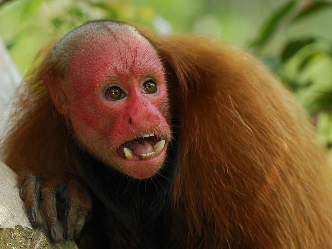 bald faced uakari