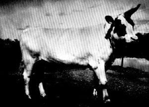 Unicorn Bull