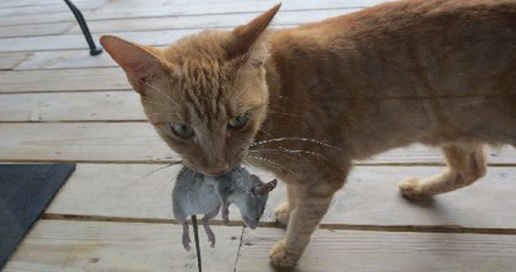 cat brings mouse