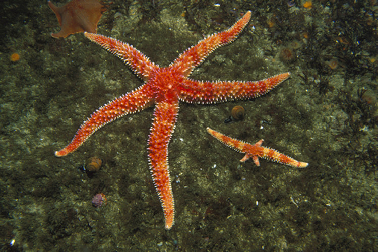 Starfish's Blood is Just Filtered Salt Water