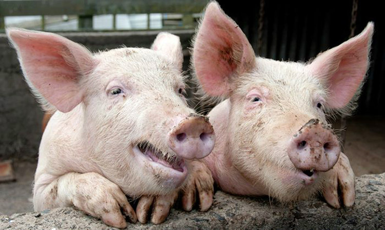 Pigs Can Orgasm for 30 Minutes
