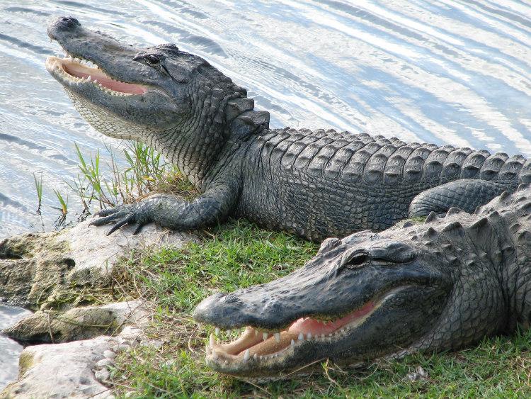 Alligators Near a Lake