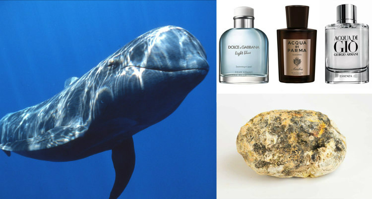 Whale's Vomit Used in Perfumes