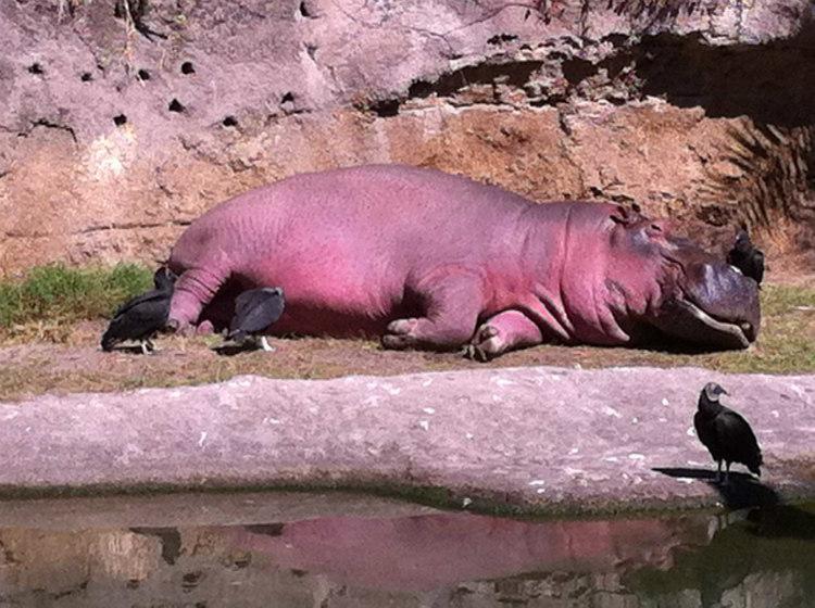 Hippopotamus with Red Secretions