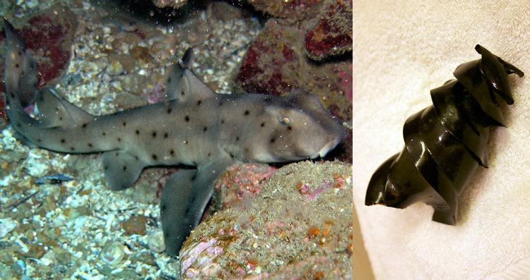 Horn Sharks Lays Eggs Shaped Like Corkscrews