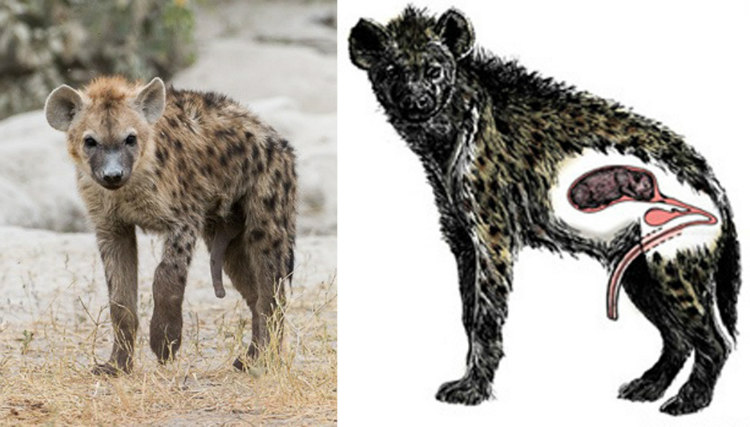 Female Hyena's Pseudo-penis