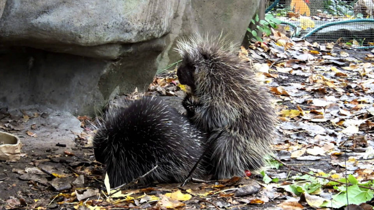 Porcupines Couple
