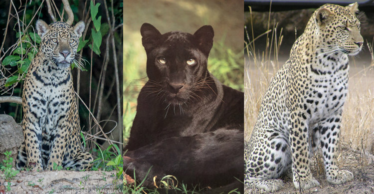 Jaguars, Panthers and Leopards