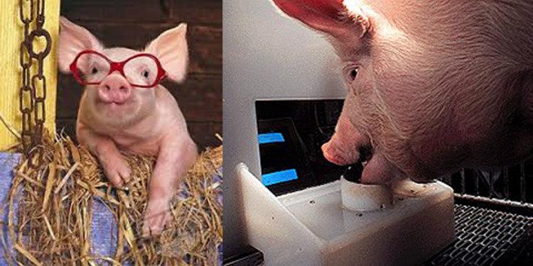 Intelligent Pigs