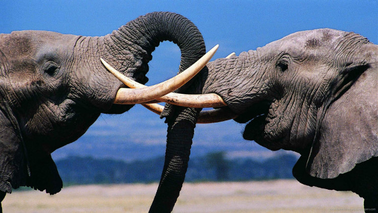 Elephants Playing with Trunks
