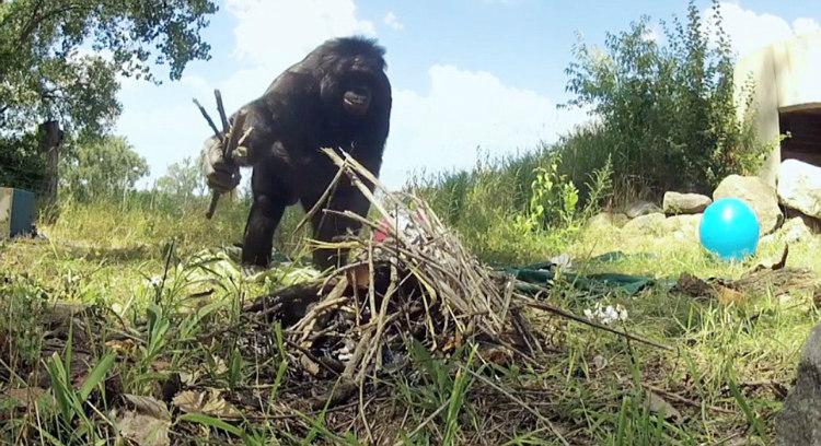 Kanzi, the Bonobo