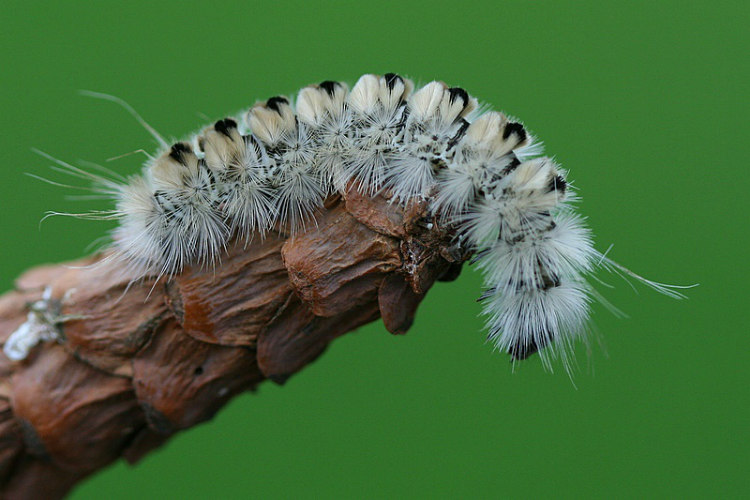Hickory Tussock Caterpillar's Chemical Defense