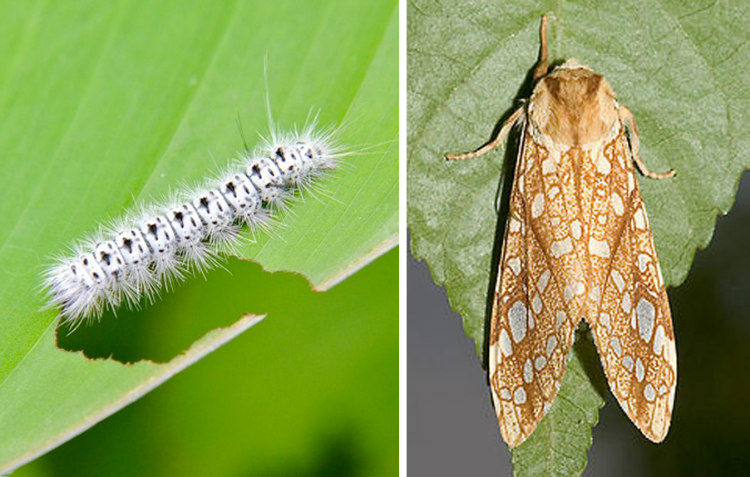 Hickory Tussock Caterpillar and Moth