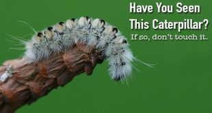 White Haired Caterpillar