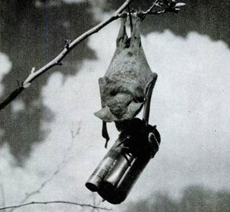 Mexican Free-Tailed Bat with Mini Bomb