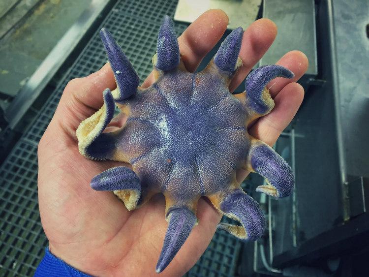 Starfish from Deep-Sea