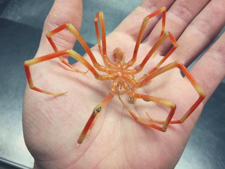 Orange Sea Spider