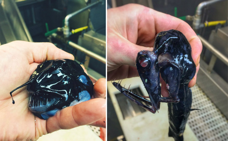 Dark Colored Creatures from the Deep-Sea