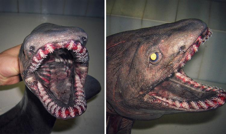 "Deep-Sea Creatures: Frilled Shark ""Living Fossil"""