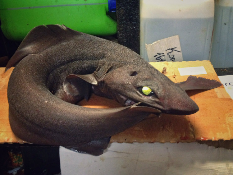Deep-Sea Shark
