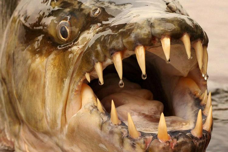 Teeth of Goliath Tigerfish