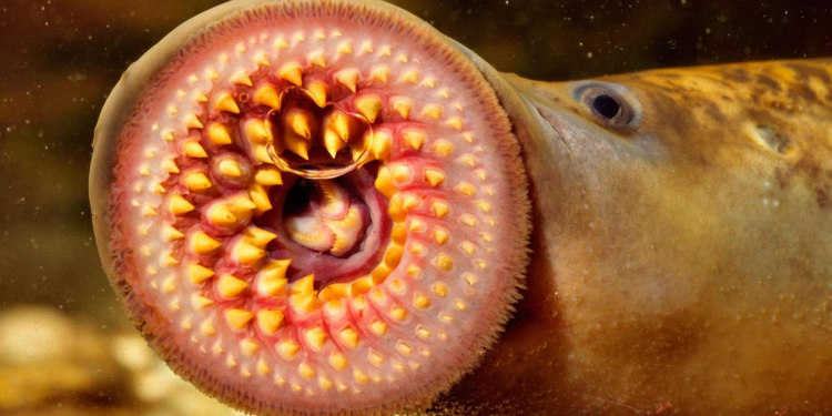 Lamprey's Toothed Funnel-Like Mouth