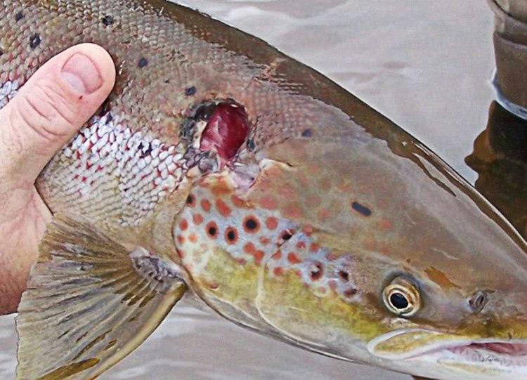 Lamprey Damaged Bass