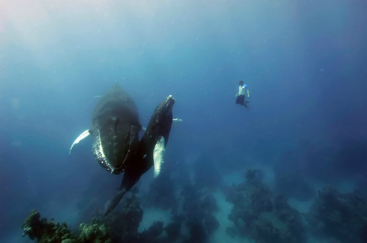 Freediving with Humpback Whales