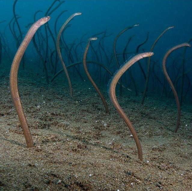 Garden Eels