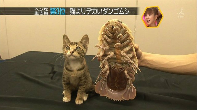Giant Isopode