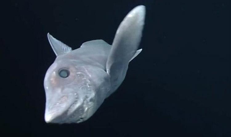 Pointy Nose Blue Chimaera