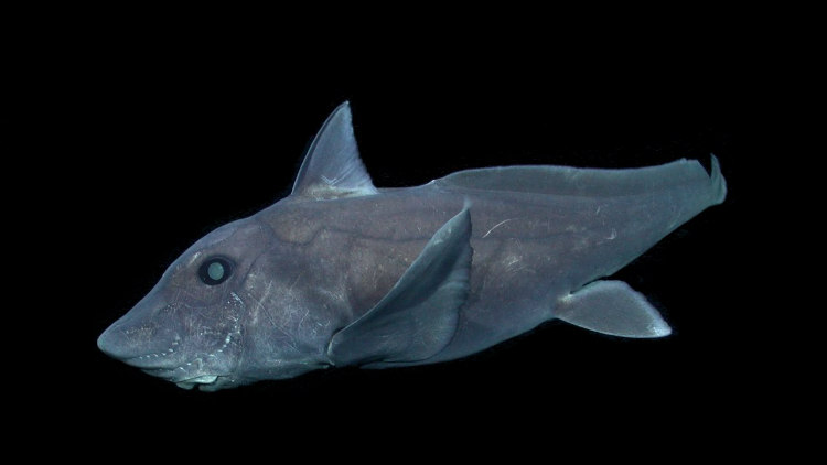 Ghost Shark, Pointy Nose Blue Chimaera