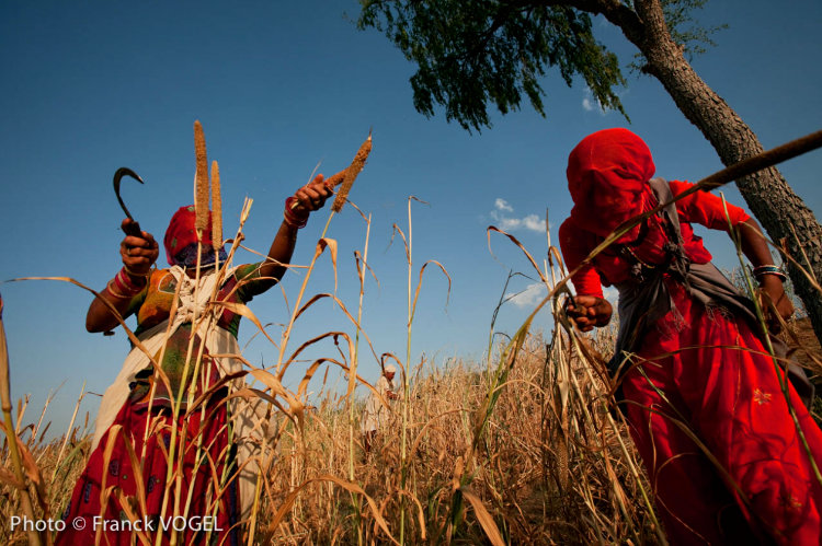 Bishnoi women harvest millet